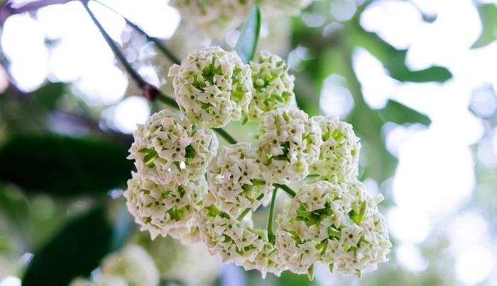 Tháng 10 thu Hà Nội gắn liền với hương thơm của hoa sữa